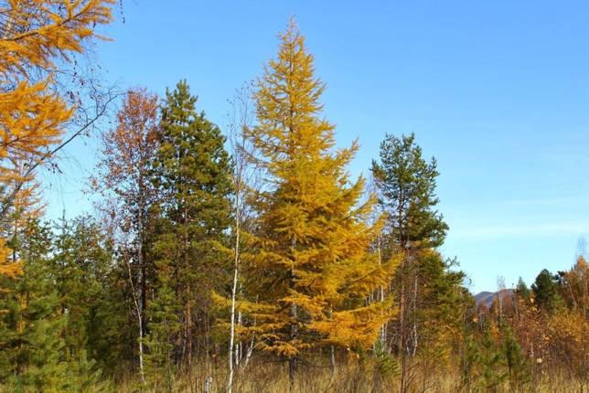 Все о лиственнице: описание и разновидности, выращивание и размножение
