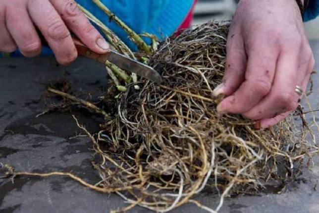 Размножение флоксов черенками летом, осенью, весной