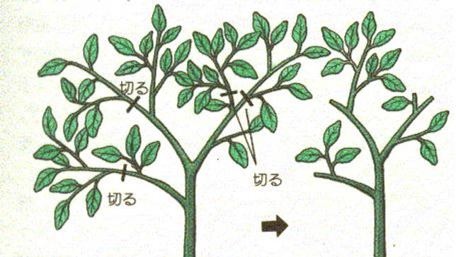 Секреты выращивания бонсая из ели