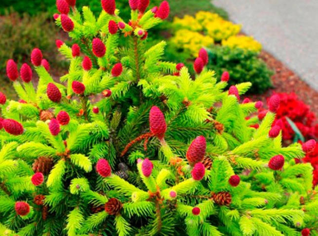 Ель колючая Лаки Страйк (Picea pungens Lucky Strike)- описание и фото, использование в ландшафтном дизайне, посадка дерева и уход за ним