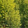 Кипарисовик Лавсона «Элвуди» — описание, посадка, уход и размножение